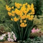 Daffodil, Grand Soleil D'or Summer