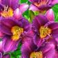 Daylily, Purple D'oro