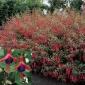 Fuchsia, Haryd Red