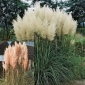 Grass, Pampas Collection