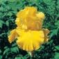 Iris, Ingathering Memory