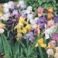 Iris Lovers Bargain