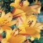 Trumpet Lily, Golden Splendor