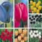 Tulip Sampler, Rainbow
