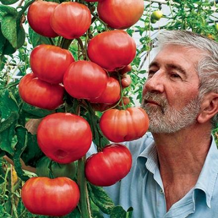 Tomato, Climbing Trip-l-crop