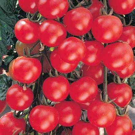 Tomato, Sweet Baby Girl