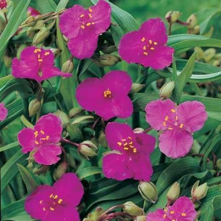 Trinity Plant, Rosy-red