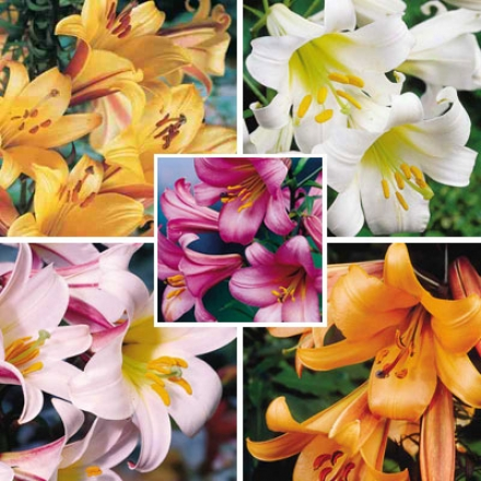 Trumpet Lily Collection