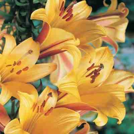 Trumpet Lily, Golden Splendot
