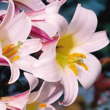 Horn Lily, Regale