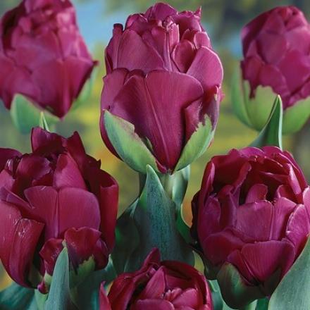 Tulip, Abigail
