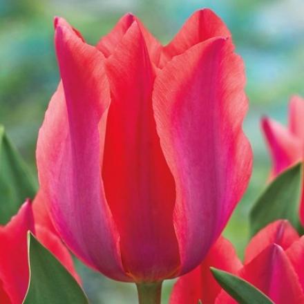 Tulip, Albert Heijn