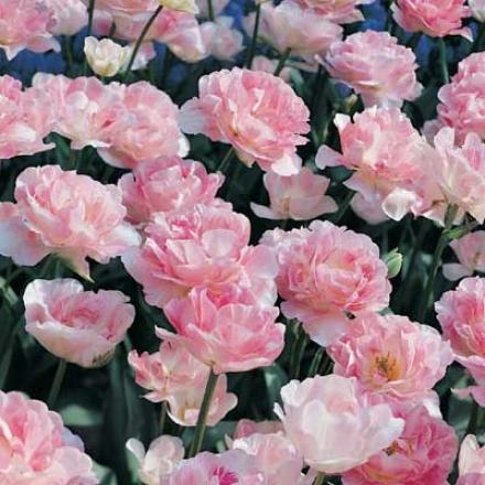 Tulip, Angelique