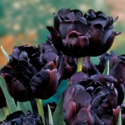 Tulip, Black Hero
