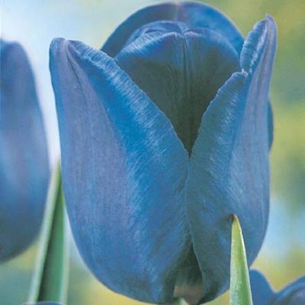 Tulip, Blue Lagoon