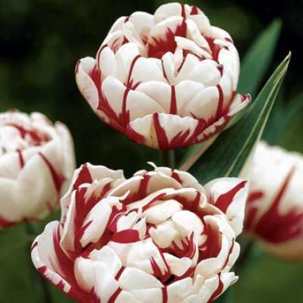 Tulip, Carnaval De Nice