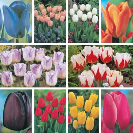 Tulip Collection, Bouquet