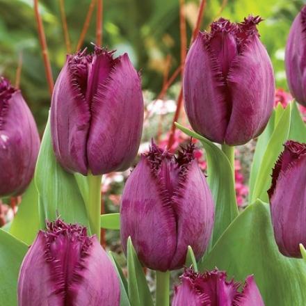 Tulip, Curly Sue
