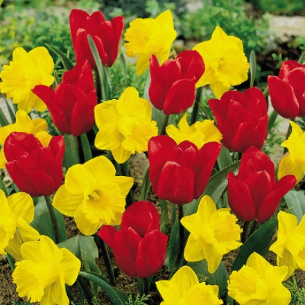 Tulip-daffodil Mix, Red & Yellow