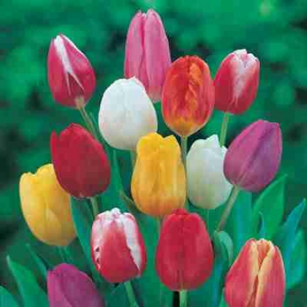 Tulip, Darwin Assortment