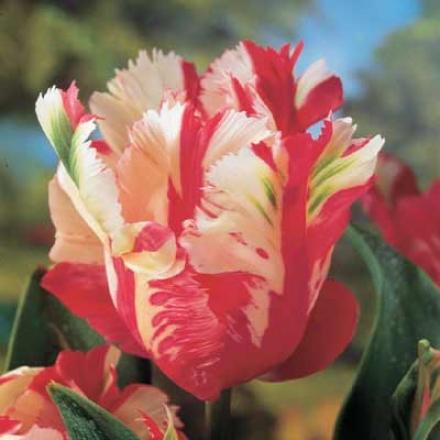 Tulip, Estella Rijnveld Parrot