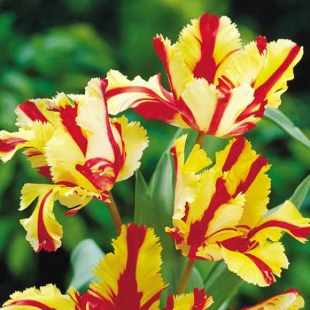 Tulip, Bright red Parrot