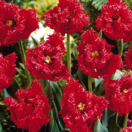 Tulip, Fimbriate Barbados