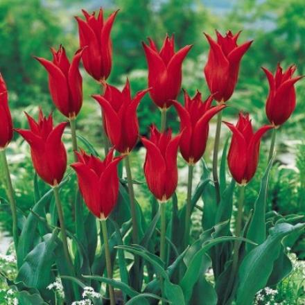 Tulip, Lasting Love