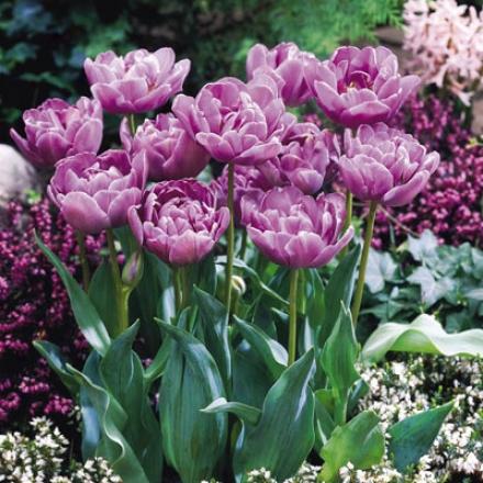 Tulip, Lilac Perfectness