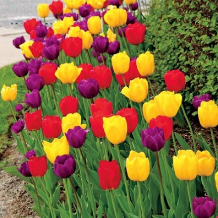 Tulip Mix, Royal