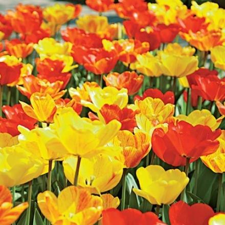 Tulip Mix, Sunny Day