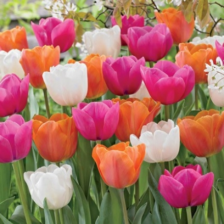 Tulip Mixture, Spring Sensation
