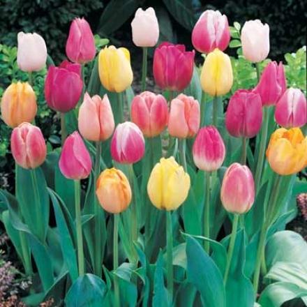 Tulip, Pastel Mix
