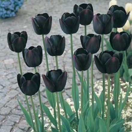 Tulip, Queen Of The Night
