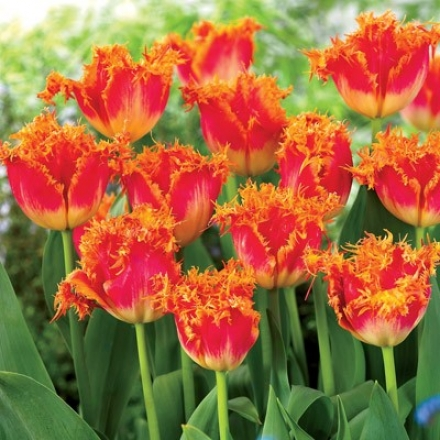 Tulip, Real Time