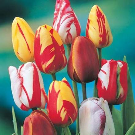 Tulip, Rembrandt
