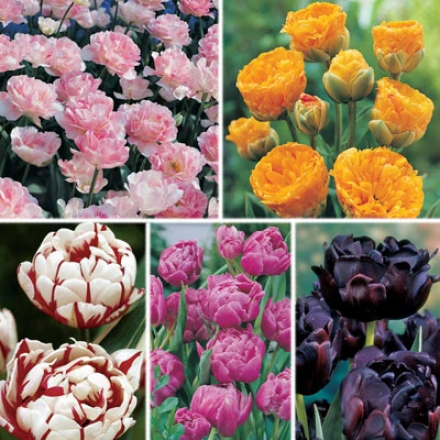 Tulip Sampler, Peony Flowering
