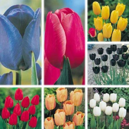 Tulip Samoler, Rainbow