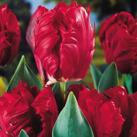 Tulip, Top Parrot
