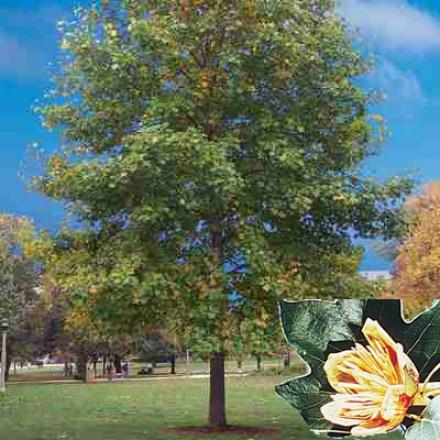 Tulip Tree, 2-3'