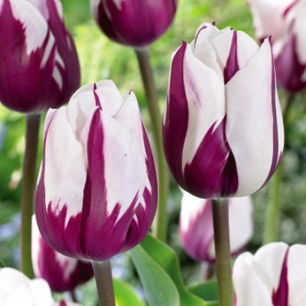 Tulip, Zurel