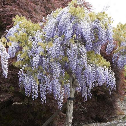 Wisteria Tree, Cascading