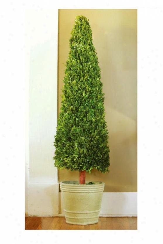 Boxwood Cone - 4 Ft, New