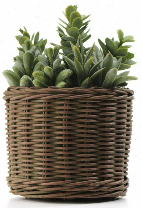 """ceheveria/cacti In Willow Basket - 9h X5.5""""round, Green"""